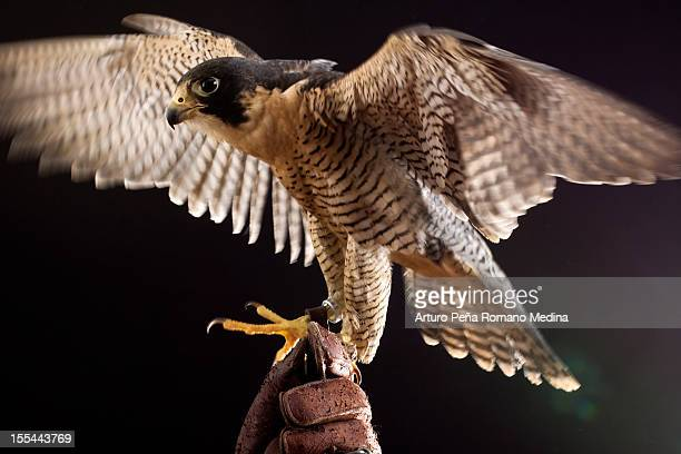 peregrine falcon - hawk bird stock photos and pictures