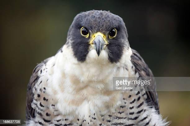 peregrine falcon (closeup) - peregrine falcon stock photos and pictures