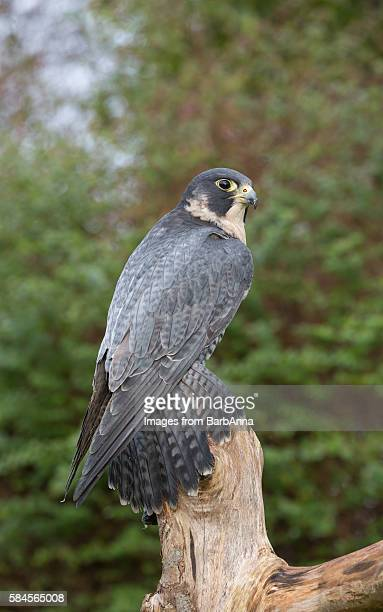 peregrine falcon (falco peregrinus) - peregrine falcon stock photos and pictures
