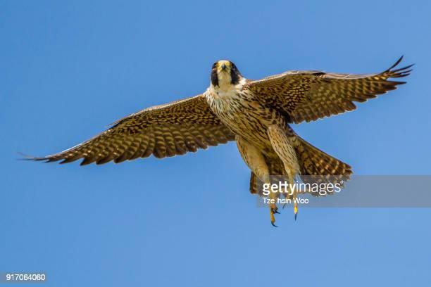 peregrine falcon - peregrine falcon stock photos and pictures