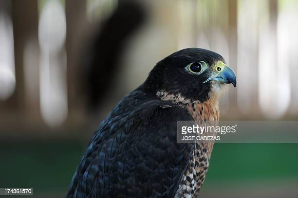 A peregrine falcon remains at the Salvadorean Bird Rescue center operated in Apopa 12 km north of San Salvador El Salvador on July 18 2013 The bird...