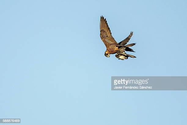 A peregrine falcon that has catching a dove.