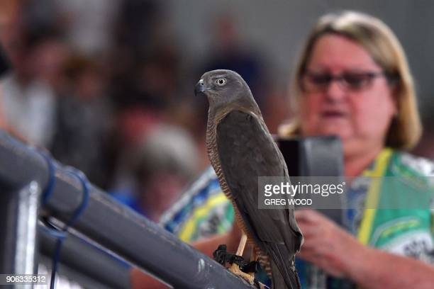 A peregrine falcon which is used to chase away seagulls is seen during the men's singles second round match between Switzerland's Roger Federer and...