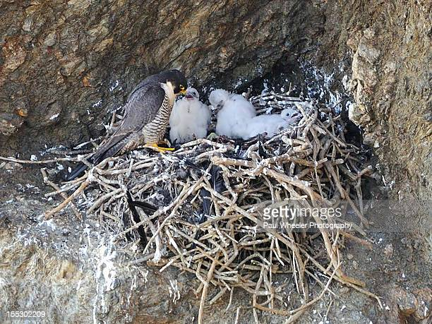 peregrine falcon with chicks - hawk nest stock photos and pictures
