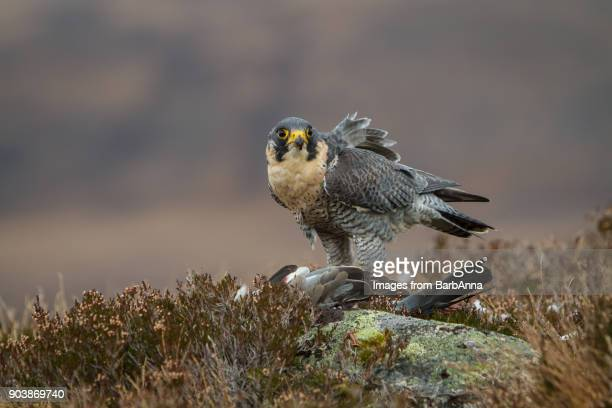 peregrine falcon with prey in the cairngorms national park, scotland, uk - peregrine falcon stock pictures, royalty-free photos & images
