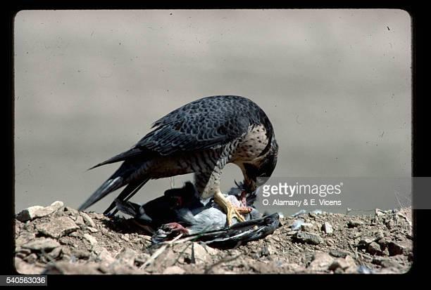 peregrine falcon with prey - alamany fotografías e imágenes de stock
