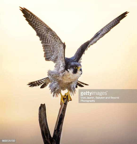 peregrine falcon with wings up on perch - hawk bird stock photos and pictures