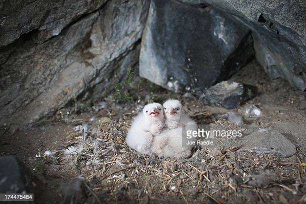 Peregrine Falcon's are seen in a nest on July 12 2013 in Kangerlussuaq Greenland As the sea levels around the globe rise researchers affilitated with...