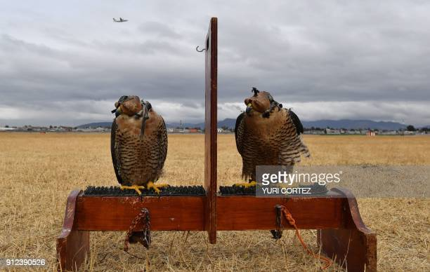 Peregrine falcons of the Fumigation and Avian Control company are pictured before being released to patrol the runways and air space over Mexico...