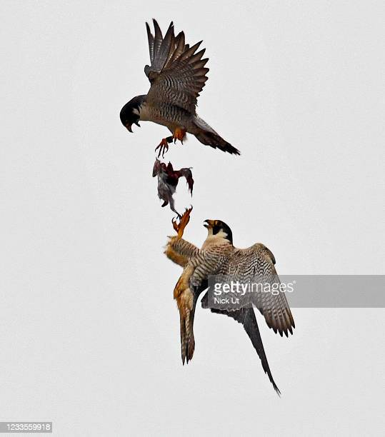 Peregrine falcons transfer food to one another in San Pedro on June 19, 2021 in Los Angeles, CA.