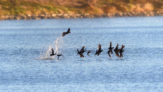 Peregrine Hunting Ducks - gettyimageskorea