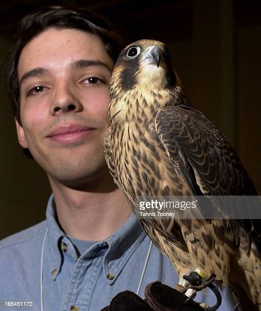 March 11 2002Marcel Gahbauer biologist with 'Oscar' a 11 month old Perefrine Falcon is trying to save 'Lighting' a similar aged male Peregrine from...