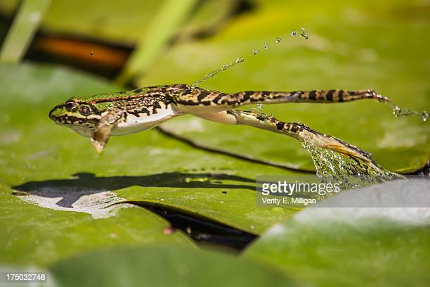 perez's frog jumping through the air - frog stock pictures, royalty-free photos & images