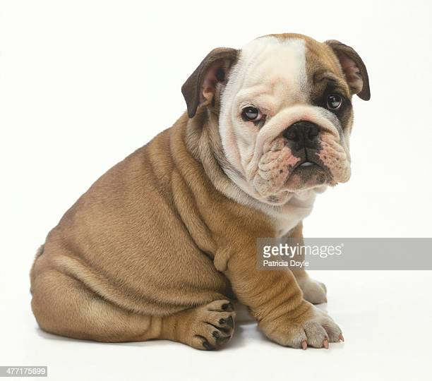 perfect english bulldog - buldogue - fotografias e filmes do acervo