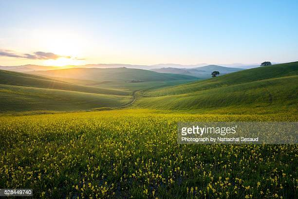 perfect field of spring grass,tuscany,italy - anhöhe stock-fotos und bilder