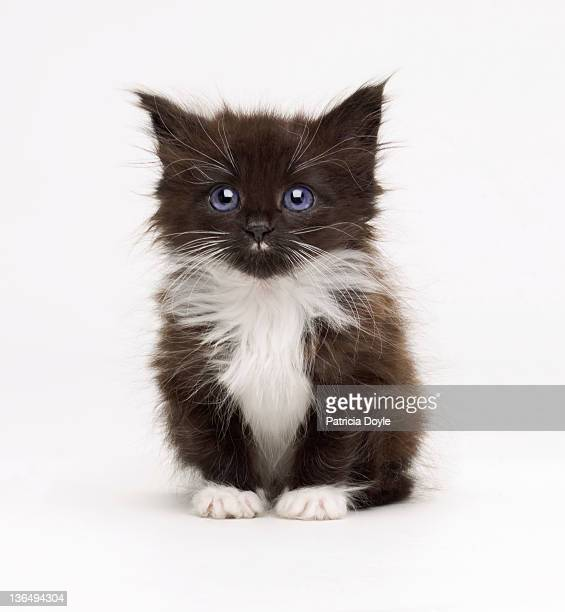 perfect fluffy kitten - kitten stock pictures, royalty-free photos & images