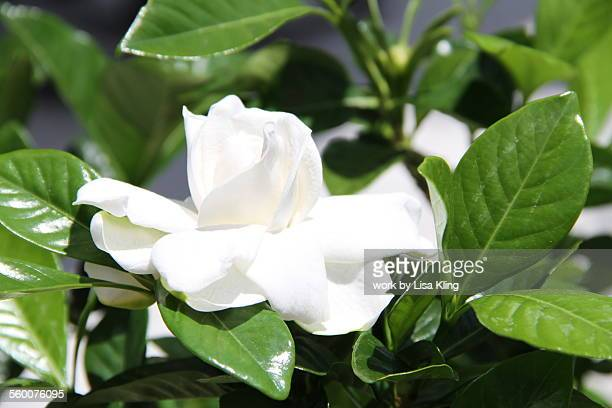 Perfect Gardenia Flower