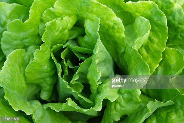 perfect green crispy leafy lettuce - lettuce stock pictures, royalty-free photos & images