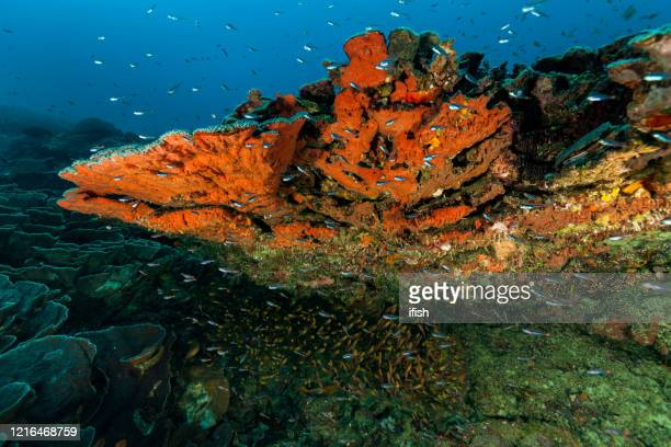 perfect hard coral reef, colorful deep, raja ampat, indonesia - at the bottom of stock pictures, royalty-free photos & images
