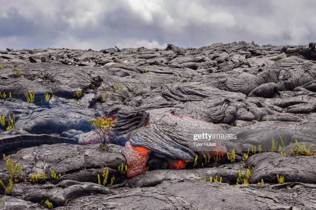 Perfect Ohia Lehua flower defies lava : Stock Photo