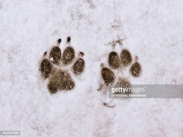 Perfect paw prints in fresh snow, Italy