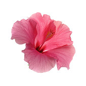 single delicate pink hibiscus flower showing