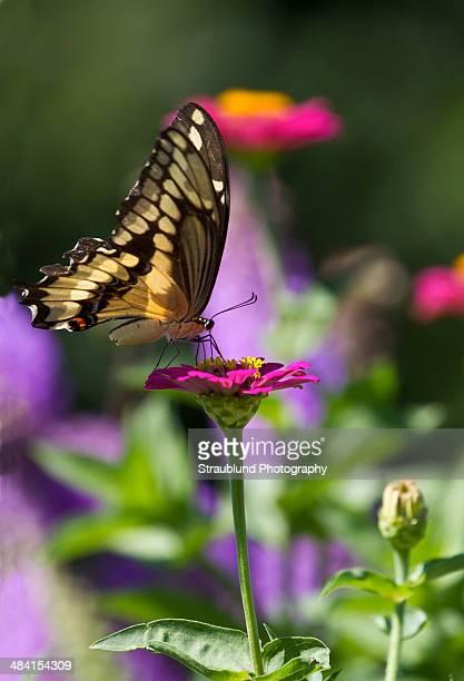 perfect purple! - farfalla a coda di rondine foto e immagini stock