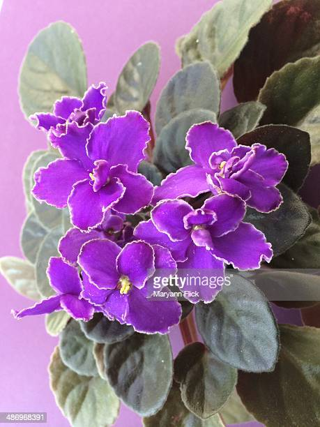 perfect purple! - african violet stock photos and pictures