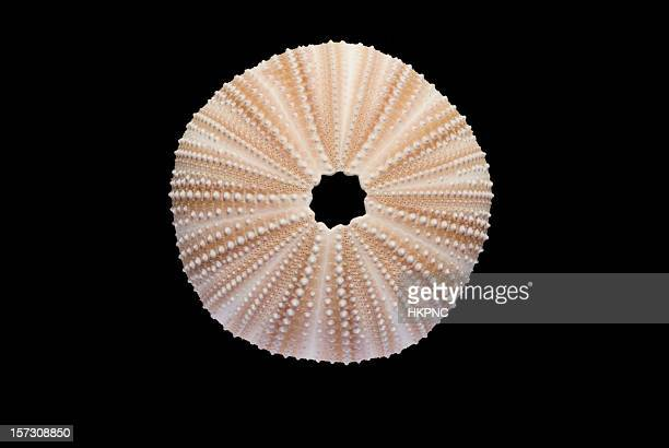 Perfect Sea Urchin Isolated on Black -Clipping Path