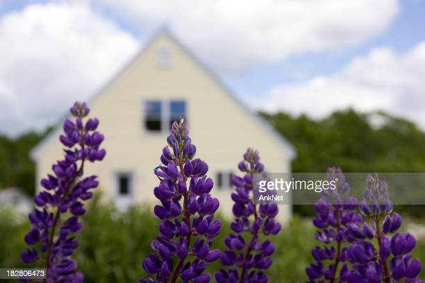 Perfect vacation, lupines in front of the cottage