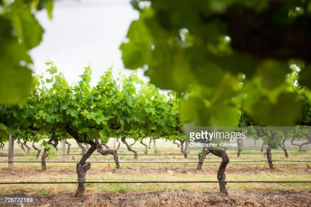 A Perfectly Manicured Vineyard In Margaret River, Western Australia