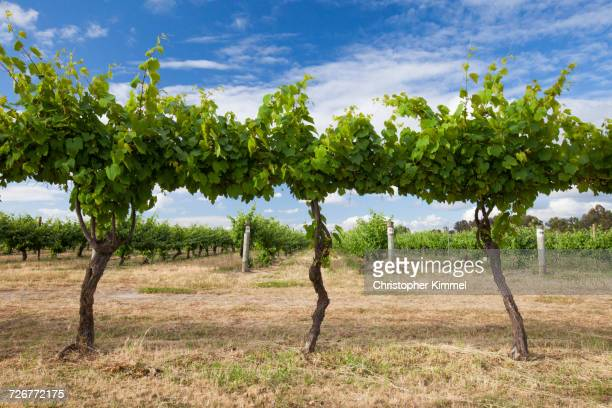 A Perfectly Manicured Vineyard In Row At Margaret River, Western Australia
