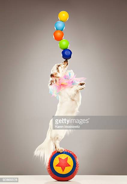 Performing dog balancing balls on nose
