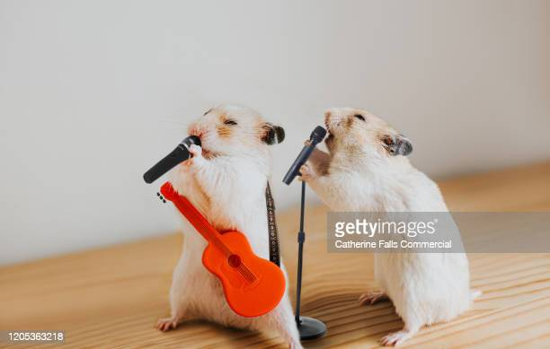 performing hamsters - competition group stock pictures, royalty-free photos & images