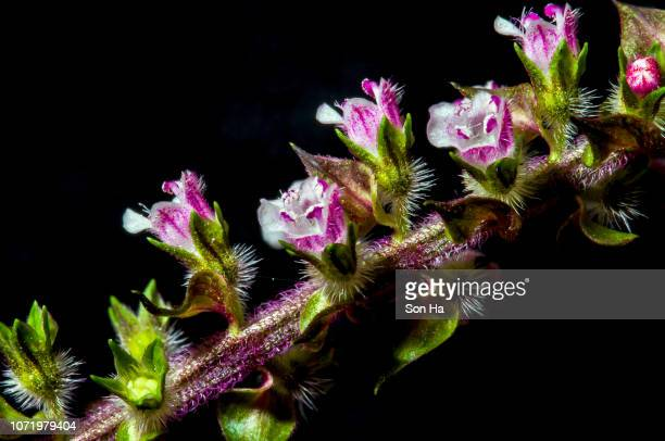perilla frutescens - shiso stock pictures, royalty-free photos & images