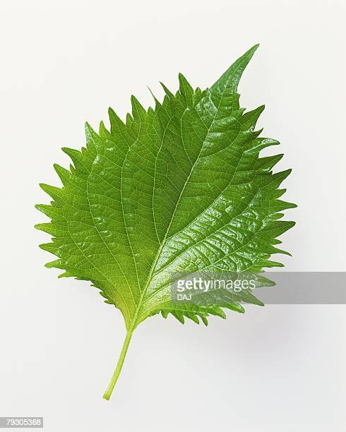perilla, high angle view - shiso stock pictures, royalty-free photos & images