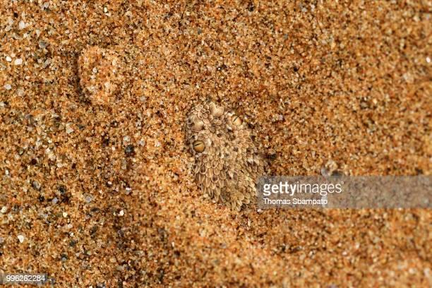 peringuey's adder (bitis peringueyi) buried in the sand, camouflage, namib desert, namibia - deserto da namíbia - fotografias e filmes do acervo