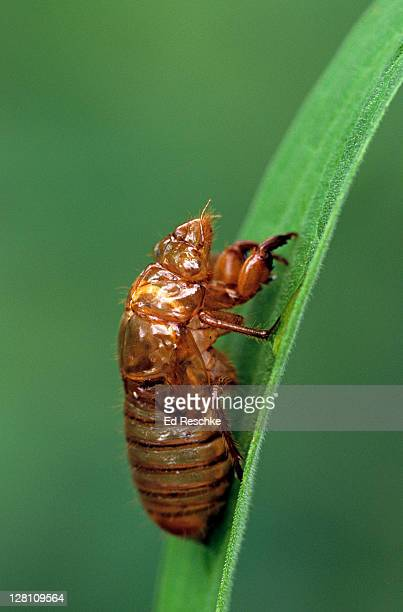 periodical cicada, empty nymphal skin, magicicada spp. requires 17 years to complete development. nymph splits its skin, & transforms into adult. northern illinois brood, this brood is the largest emergence of cicadas anywhere. - cicala foto e immagini stock