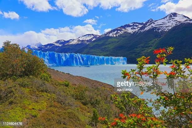 perito moreno glacier and red wildflowers, lake argentino – el calafate, patagonia - los glaciares national park stock pictures, royalty-free photos & images