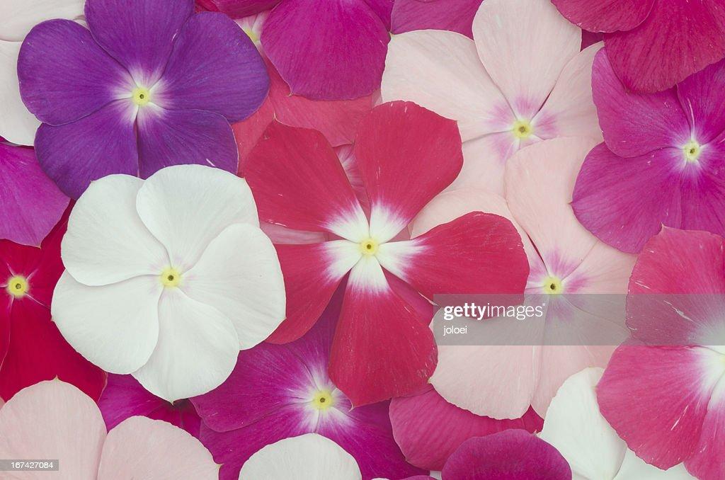 Periwinkle background : Stock Photo