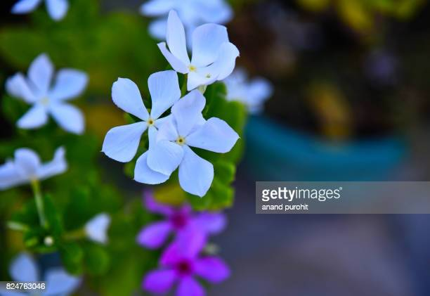 periwinkle or vinca rosea or baramasi flower plant, india - flower show stock photos and pictures
