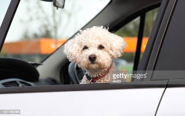 Perky  bichon frise looking out of car window