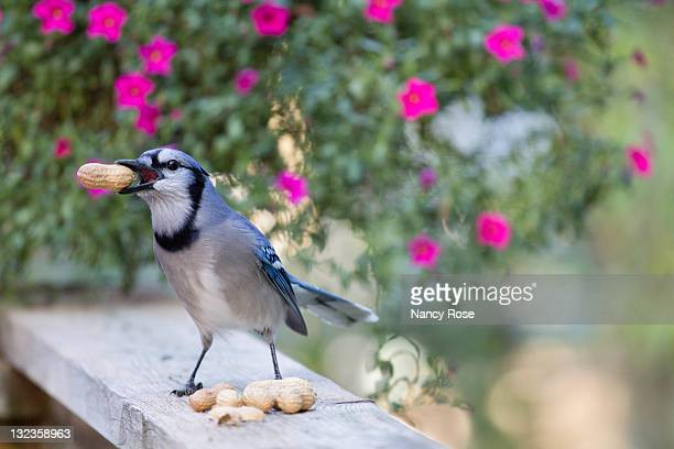 perky bluejay - bedford nova scotia stock pictures, royalty-free photos & images