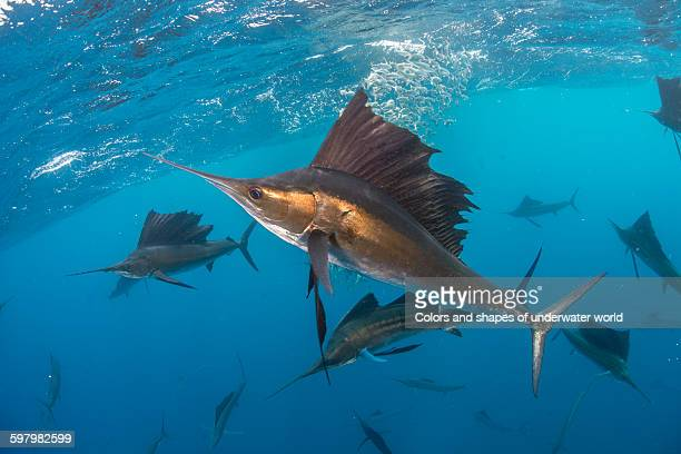 perpetuance of hunting sailfish - sailfish stock pictures, royalty-free photos & images