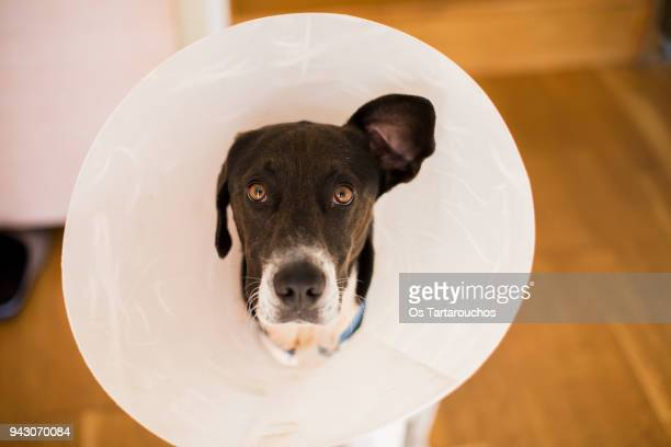 perro con collar isabelino oreja levantada - cone shape stock pictures, royalty-free photos & images