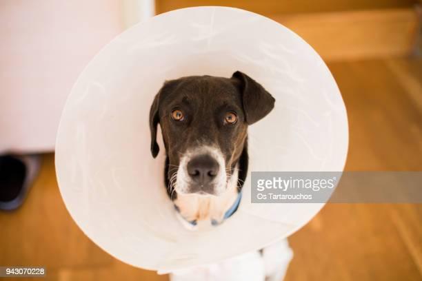 perro con collar isabelino y mirada de pena