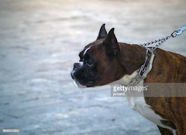 Perro Boxer Stock Photos And Pictures