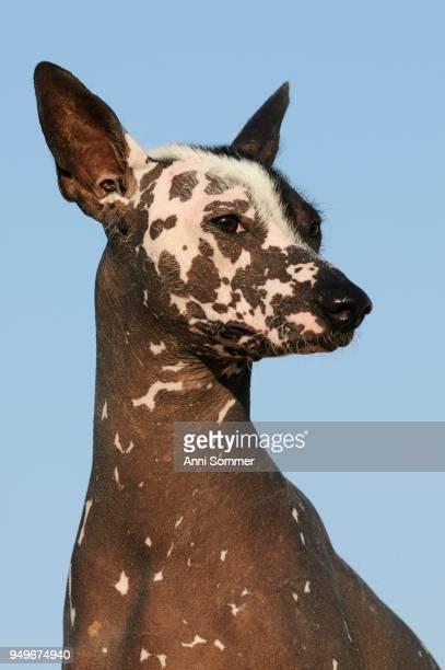 Perro sin pelo del Peru, Peruvian hairless dog, bitch, animal portrait