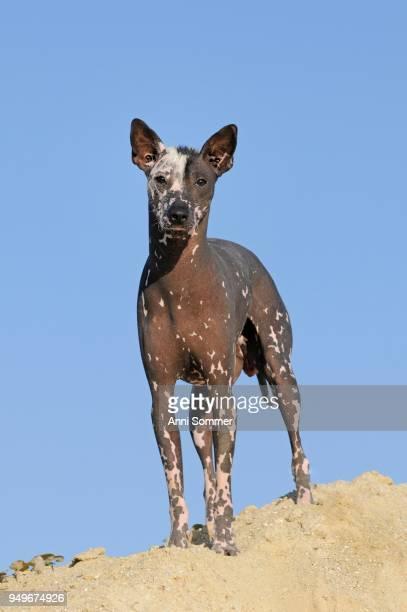 Perro sin pelo del Peru, Peruvian hairless dog, bitch