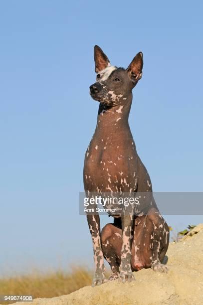 Perro sin pelo del Peru, Peruvian hairless dog, bitch, sitting